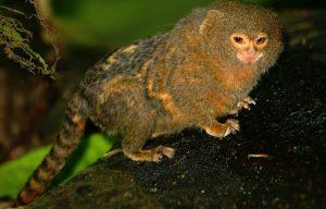 Perù: Scoperte parti fossili di una scimmia vissuta 18 milioni di anni fa