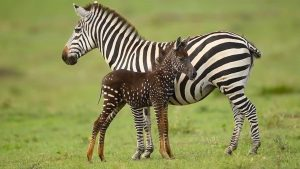 La Zebra di nome Tira ha una particolare caratteristica che la distingue dalle altre, ecco qual'è!