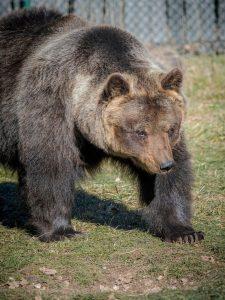 E' morta Lauretta: l'aziana orsa è anche ambasciatrice della specie