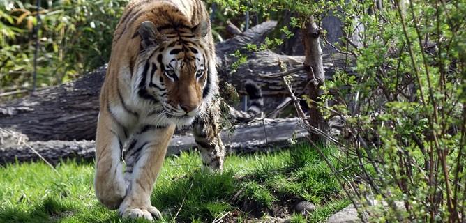 USA: contagiata una prima tigre