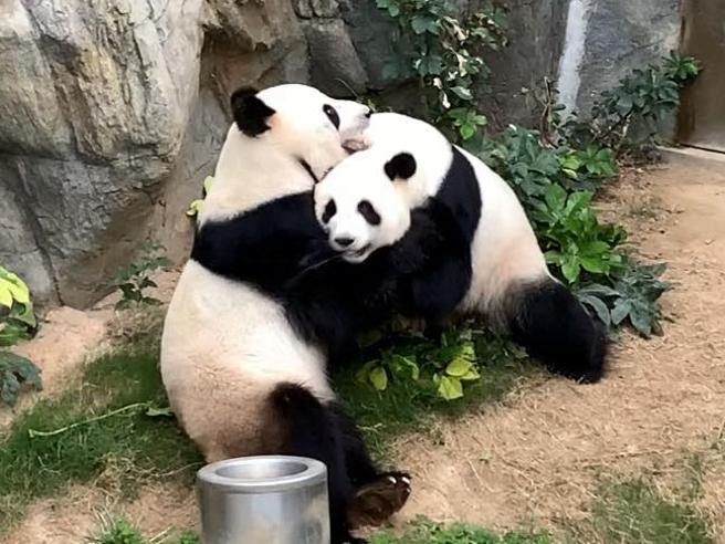 Hong Kong: grande festa nello zoo per i due panda Ying Ying e Le Le