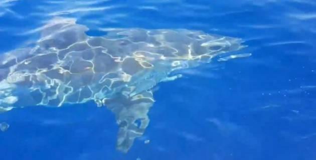 Lampedusa: avvistato uno squalo bianco