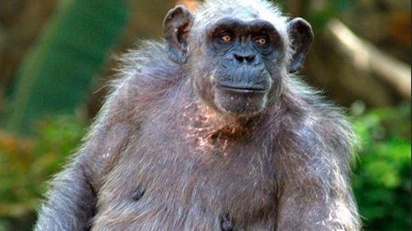 E' deceduta la scimpanzè più anziana del mondo