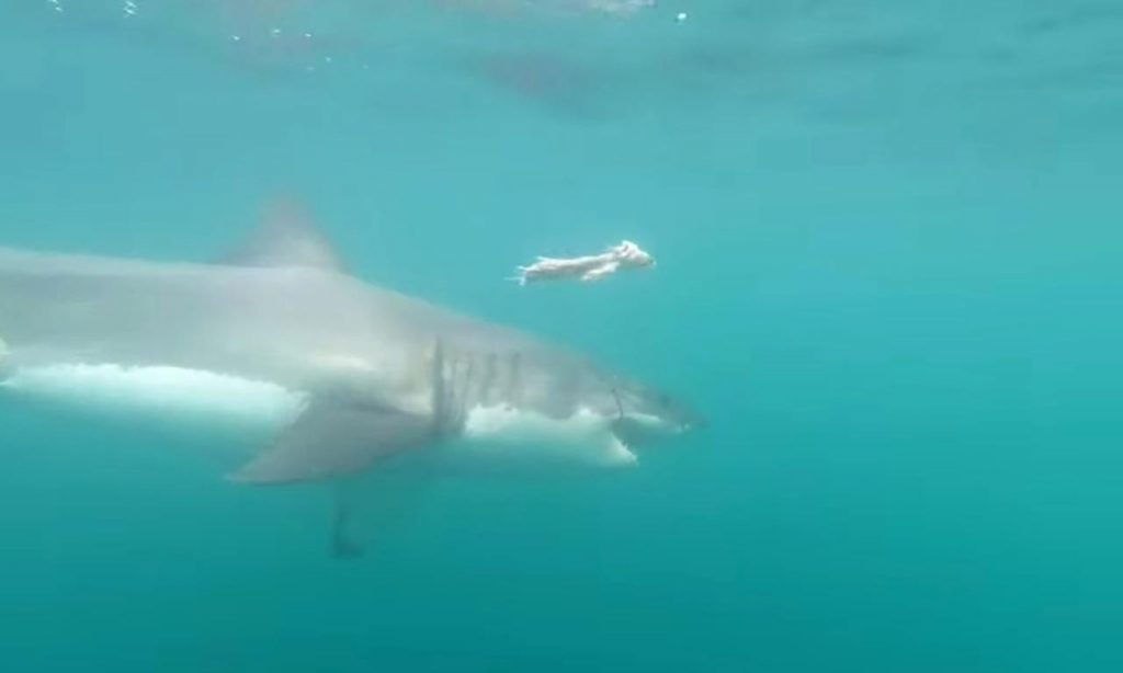 California: un uomo è stato ucciso da uno squalo bianco.
