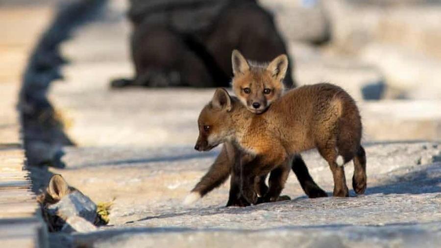 Canada, una famiglia di volpi si trasferisce a Woodbine Beach