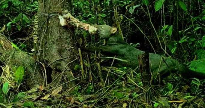 Foresta Pluviale avvistato cane con orecchie corte definito anche 'fantasma'.