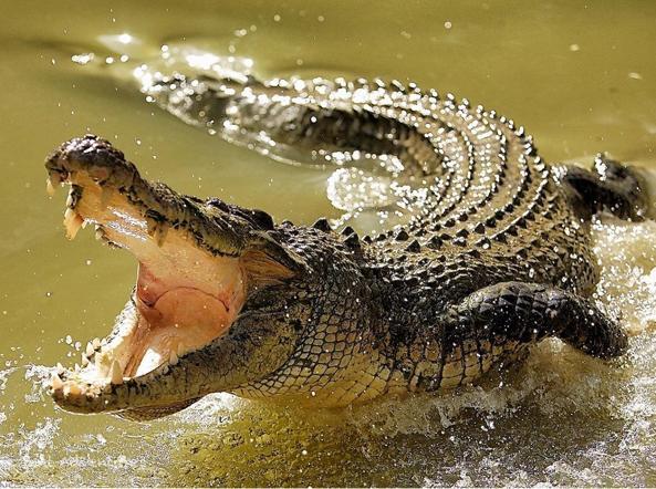 I coccodrilli sono a rischio d'estinzione?