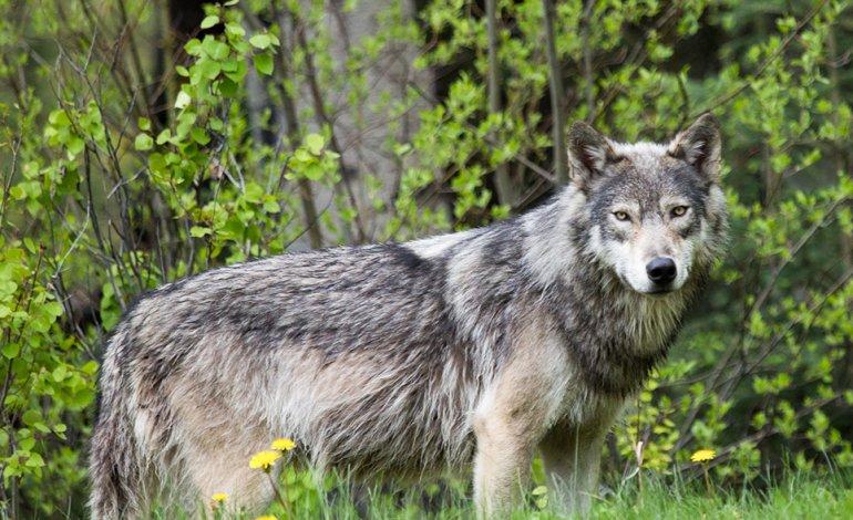 Corte di giustizia dell'Ue: aggiunte direttive per la difesa del 'lupo'