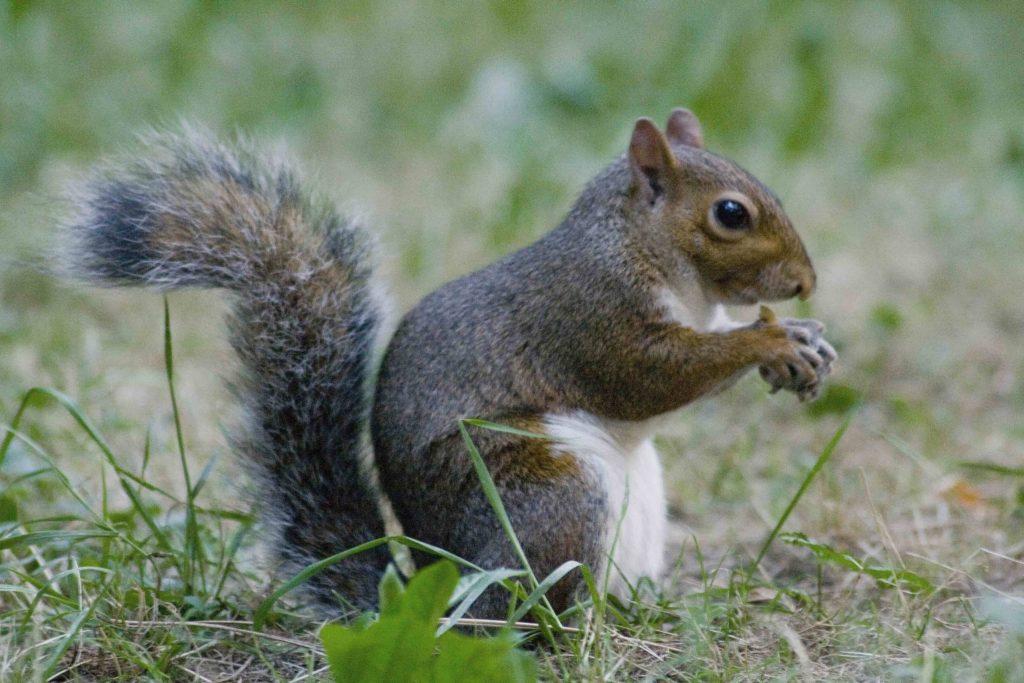 USA: uno scoiattolo è risultato positivo alla peste bubbonica