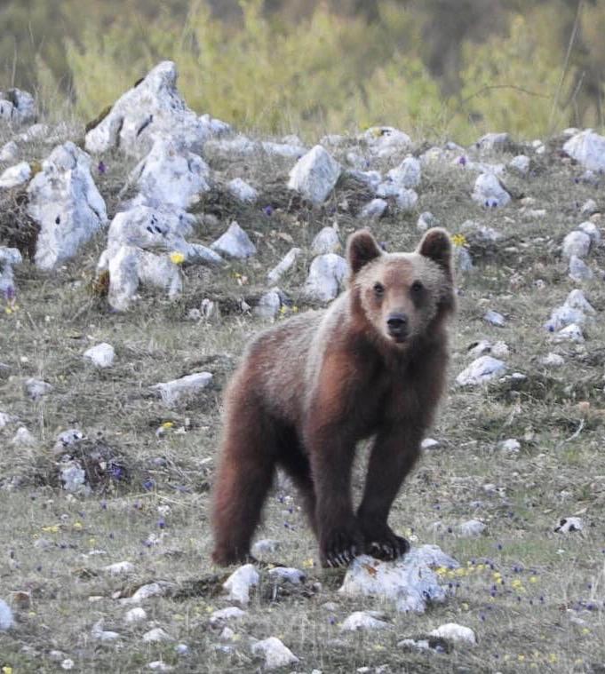 Abruzzo: orso ucciso da un 67, ecco la sentenza