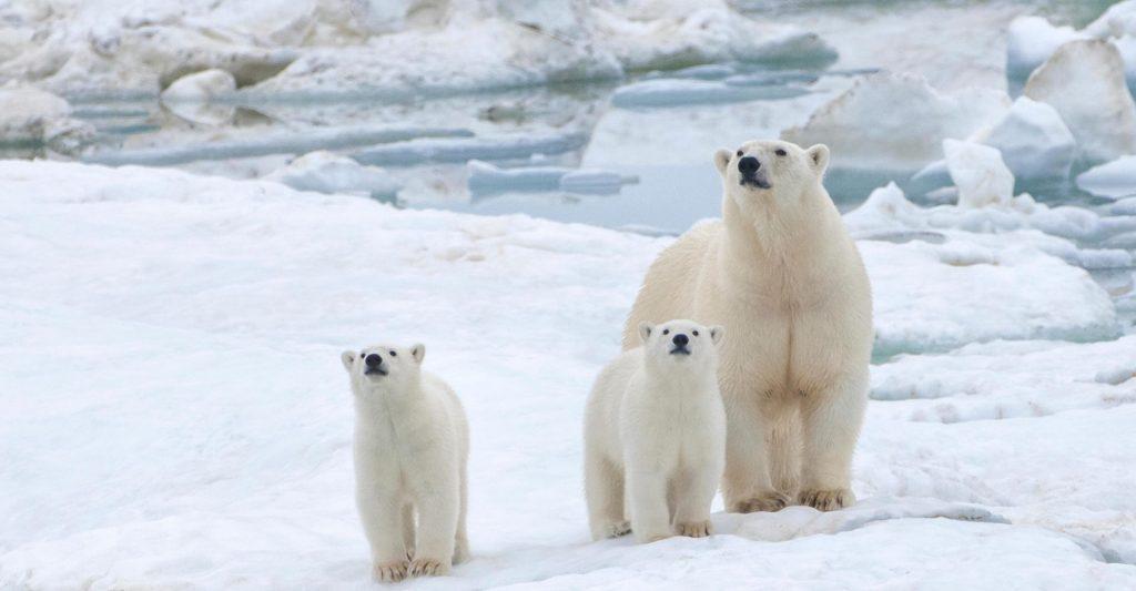 Orsi Polari: rischio d'estinzione?
