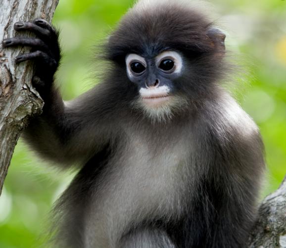 A rischio d'estinzione la scimmia Langur