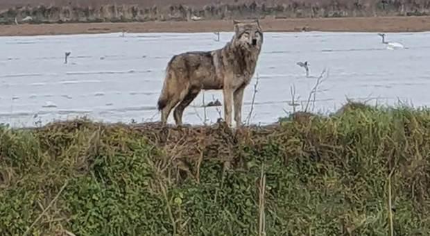 Puglia, avvistato un lupo. Ecco la decisione dell'Ispra