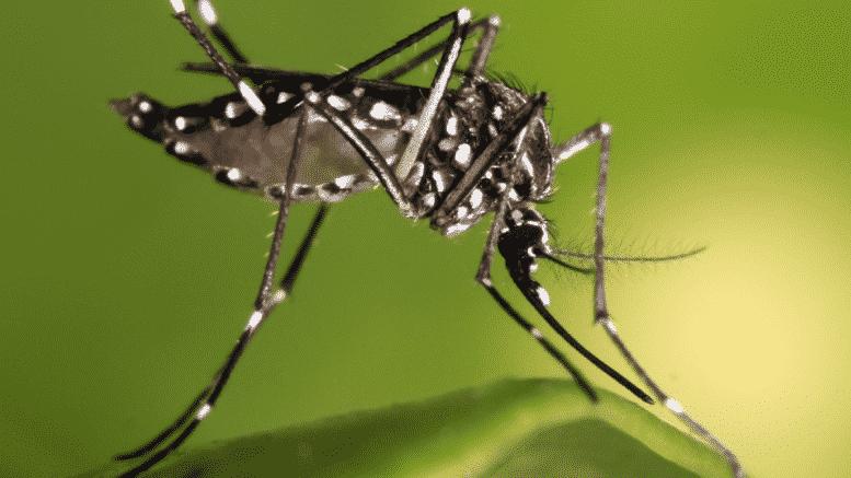 Florida: al via al progetto di lanciare milioni di zanzare mutate