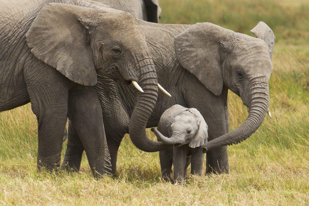 Congo: arrestato il responsabile dell'uccisione di oltre 500 elefanti