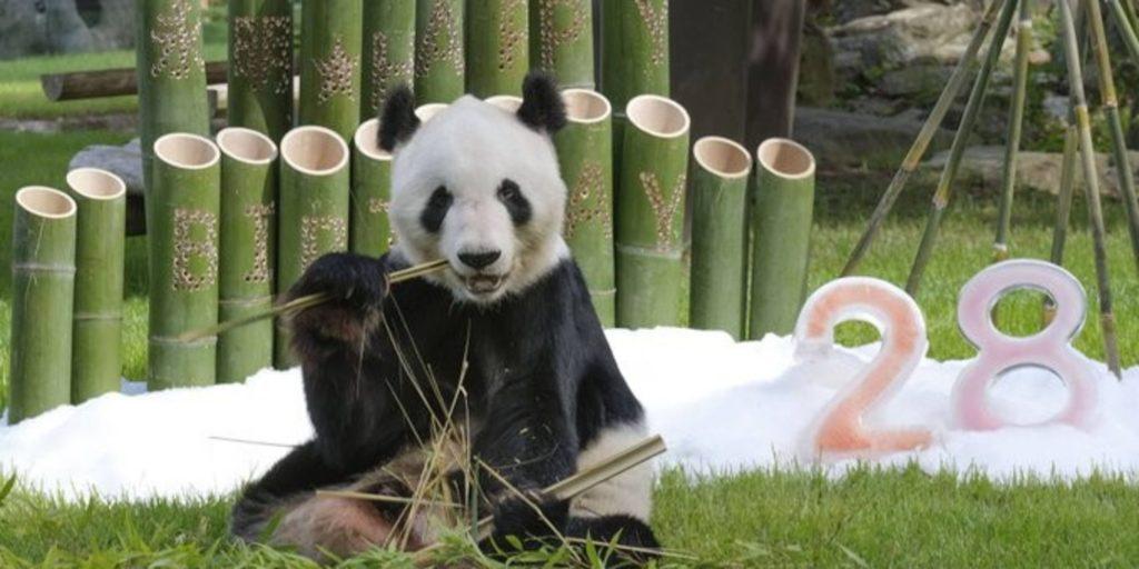Giappone: Eimei festeggia 28 anni ed è il panda con la più cattività e anzianità al mondo